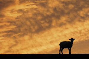 lost_sheep_pic